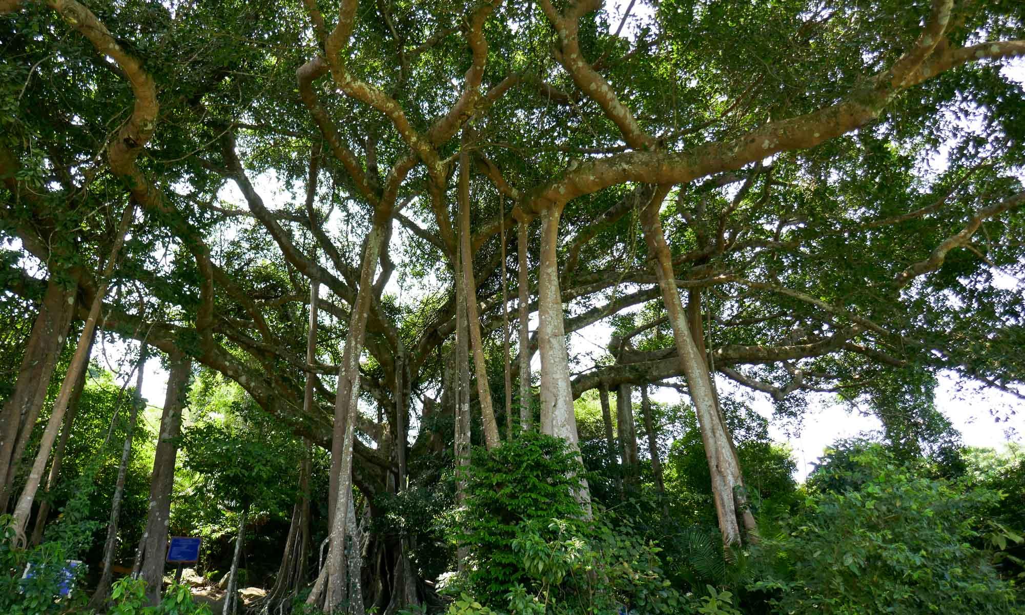 The 1,000 year old banyan tree