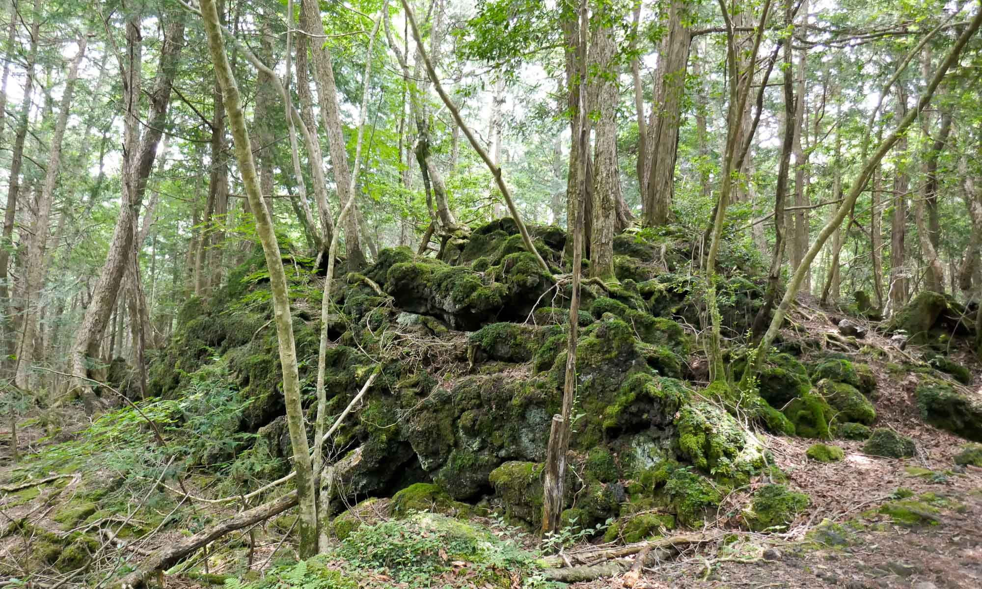 The forest lies on 35 square km of uneven (Fuji) lava ground, covered with moss
