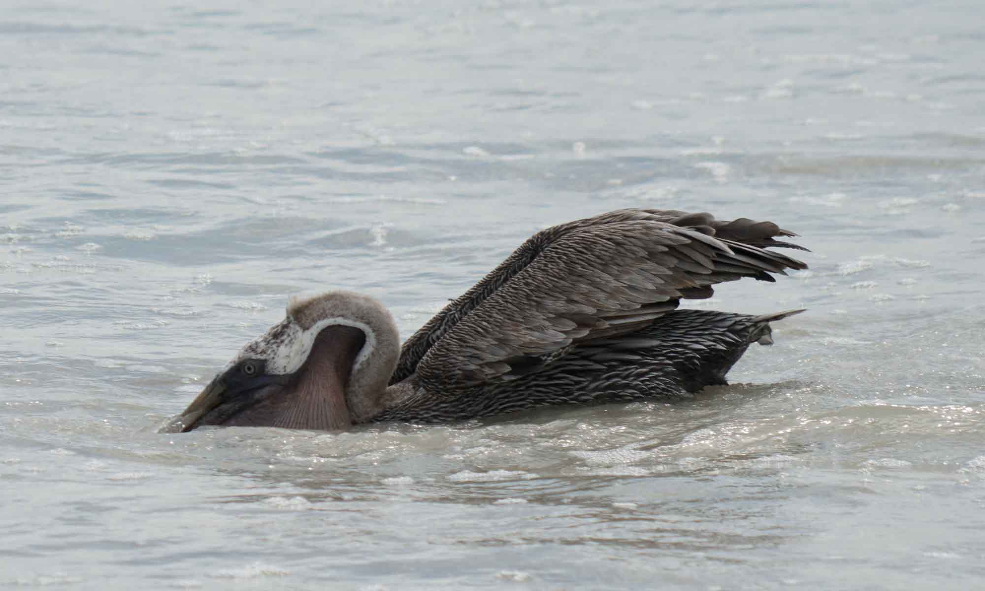 A pelican grabbing some seafood