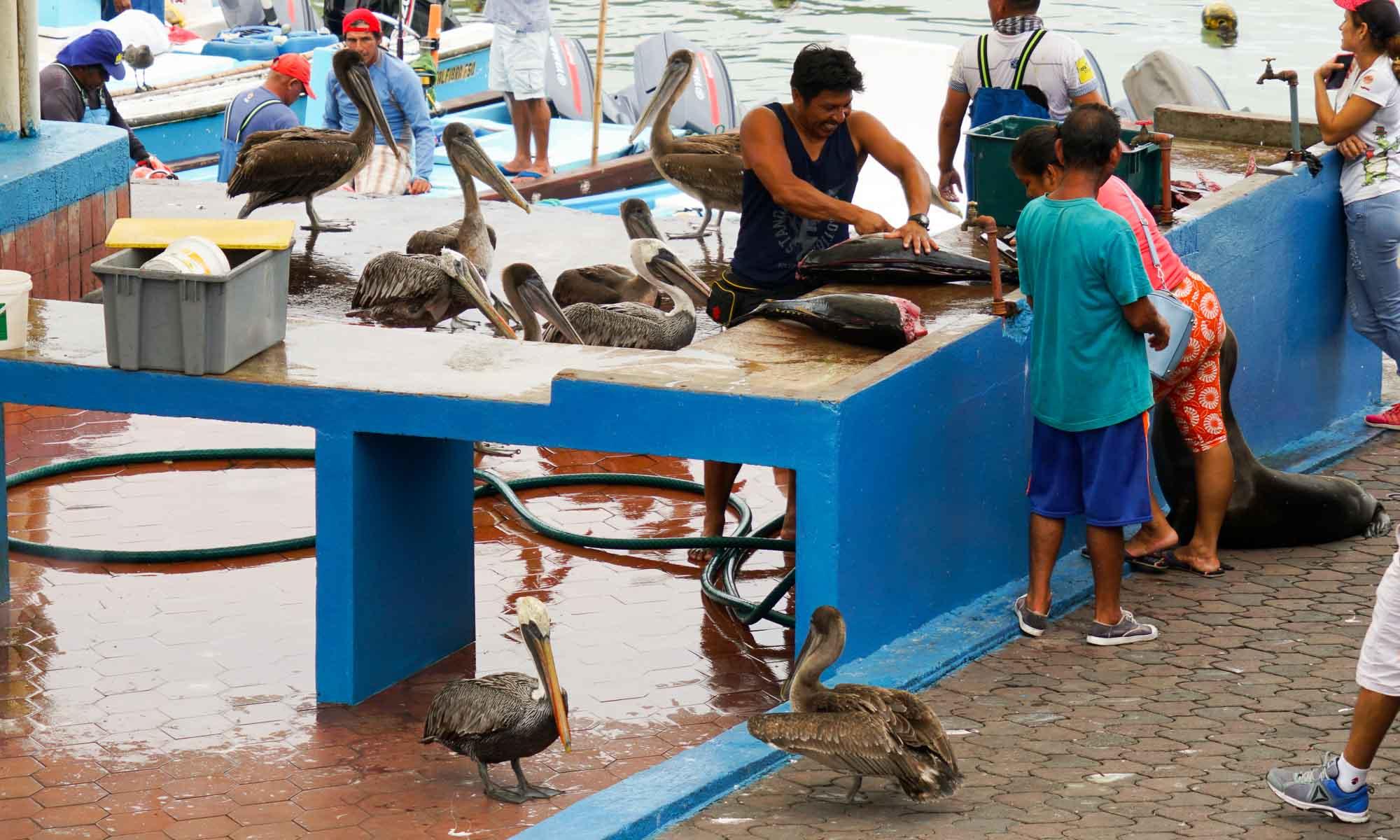 Puerto Ayora fish market